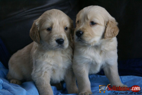 Bulky f1 generation golden retriever Puppies For Sale.