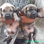 Breeder for sale in Lagos Nigeria