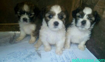 Lhasa pups for sale in lagos, Nigeria