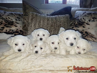 Two Top Class Maltese Puppies for sale