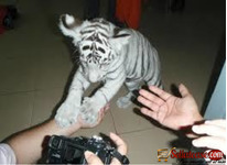 WHITE TIGER CUBS AND SAVANNAH KITTENS FOR SALE