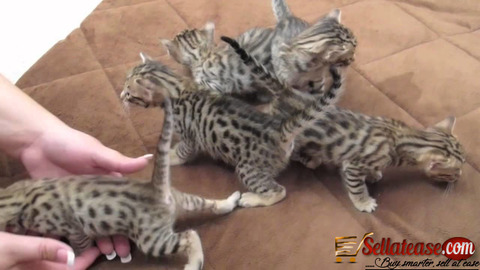 ADDORABLE SAVANNAH KITTENS AVAILABLE FOR SALE