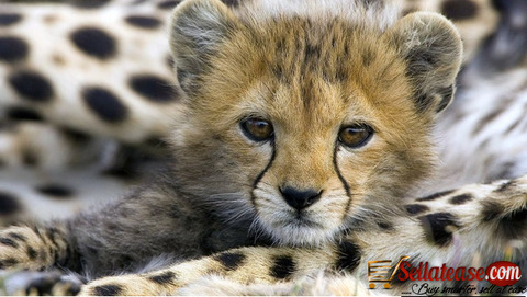 Cheetah Cubs ,white tiger , Lion cubs and parrots FOR SALE!