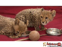 ubs|buy lion cubs|buy tiger cubs|buy parrots online