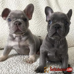 Male/Female Lilac and Tan French Bulldog Of 10 Months For Rehoming