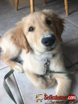 Golden Retreiver Puppies for Rehoming