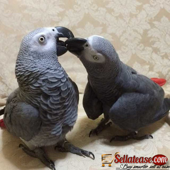 Well tamed African Grey Parrots For New Home
