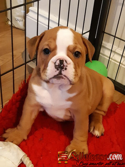 Stunning Male and Female English Bulldog Puppies Of 8 Weeks 3days For Sale.