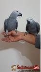 Pair African Grey Parrots