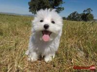 Female Maltese Puppy