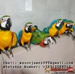 Buy Young, Tamed And Friendly Hyacinth Macaws And Others
