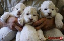 Cheetah Cubs for sale|Tiger cubs for sale